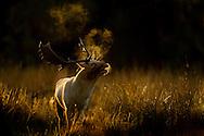Fallow deer (Dama dama) buck bellowing at dawn during the rut, Cheshire, UK