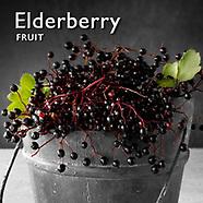 Elder Berry   Elderberries Pictures Photos Images & Fotos