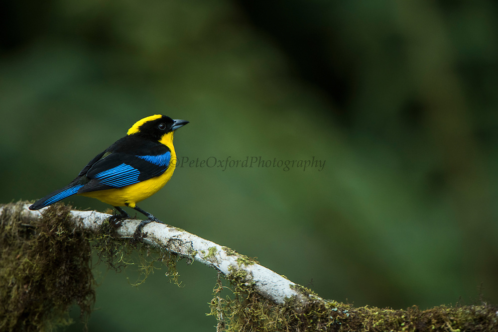 Blue-winged mountain tanager (Anisognathus somptuosus)<br /> Western slopes of Andes<br /> Andes<br /> ECUADOR, South America<br /> Habitat & Range: Subtropical montane forests of Bolivia, Colombia, Ecuador, Peru, Venezuela and Brazil