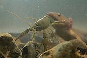 Neotenic or paedomorphic adult pacific giant salamander (Dicamptodon tenebrosus) ingesting a signal crayfish (Pacifastacus leniusculus). Salamanders are aggressive predators and will attack and eat various large prey. Photographed in the Columbia River Gorge, Oregon.