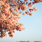 The pink flowers of the later stages of the cherry blossoms bloom in Washington DC. The Yoshino Cherry Blossom trees lining the Tidal Basin in Washington DC bloom each early spring. Some of the original trees from the original planting 100 years ago (in 2012) are still alive and flowering. Because of heatwave conditions extending across much of the North American continent and an unusually warm winter in the Washington DC region, the 2012 peak bloom came earlier than usual.