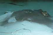 "southern stingray, Hypanus americanus, formerly Dasyatis americana, with shark bites on pectoral fin or ""wing"", Bahamas ( Western Atlantic Ocean )"