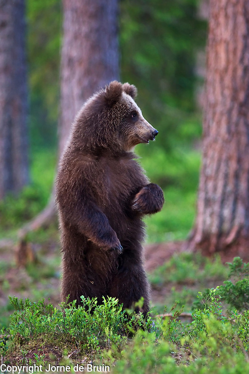 An Eurasian Brown Bear Cub  stands on the lookout for an approaching adult male bear in a forest in Finland.