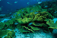 A group of sergeant major fish school around a cabbage coral.