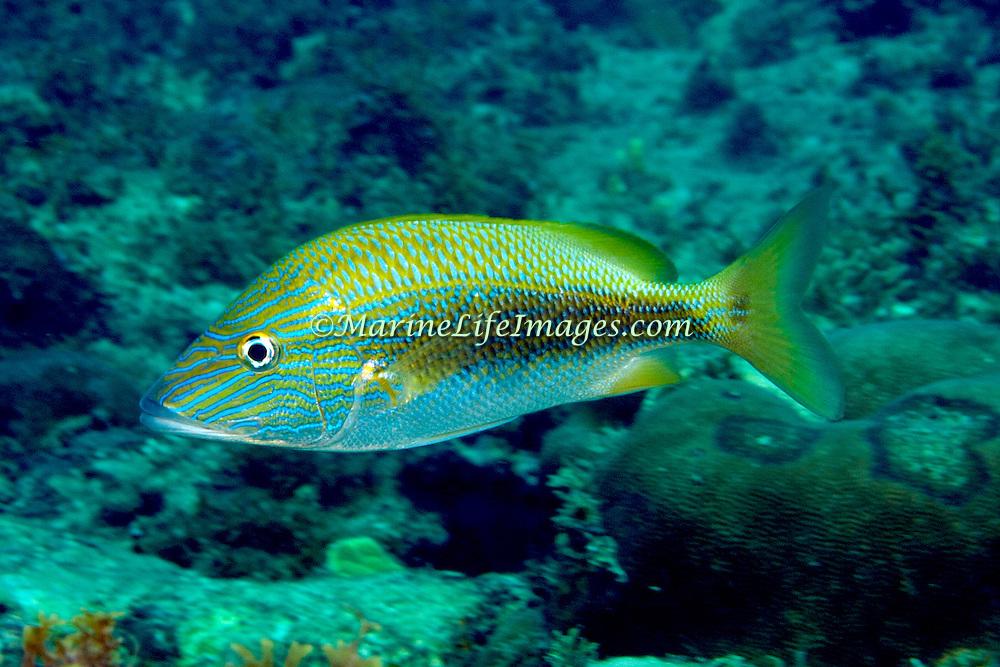 White Grunt inhabit reefs in Tropical West Atlantic; picture taken Panama near San Blas Islands.