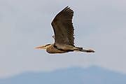 A great blue heron (Ardea herodias) appears to fly over a hillside in Everett, Washington. Great blue herons have a special adaptation to their sixth cervical vertebra that lets them retract their neck for flight, but also to rapidly extend their necks with great force to capture prey.