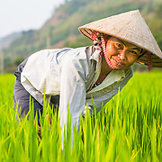 CAPTION: With limited access to arable land and a poor knowledge of agriculture, Thuan's harvest was never big enough to feed her family throughout the year, forcing her to purchase food for three of the 12 months. In 2012, she was trained in innovative and sustainable rice cultivation by a fellow member of the Women's Association. Despite being equipped with the knowledge of better farming techniques, We Effect recognised that low-income households like Thuan's would be reluctant to risk investing in new, higher yielding rice varieties without first witnessing the benefits. They therefore created local demonstration models by funding a number of low-income households to receive high yielding varieties, enabling these farmers to put into practice everything they had learned. Thuan's household was chosen as one of the demonstration models, and subsequently her productivity increased from 500 kg to 700 kg a year, giving her family enough food to last throughout all 12 months. Seeing her success, a number of other members of Huy Tuong Commune now follow this model of rice cultivation. LOCATION: Coong Village, Huy Tuong, Son La Province, Vietnam. INDIVIDUAL(S) PHOTOGRAPHED: Ngan Thi Thuan.