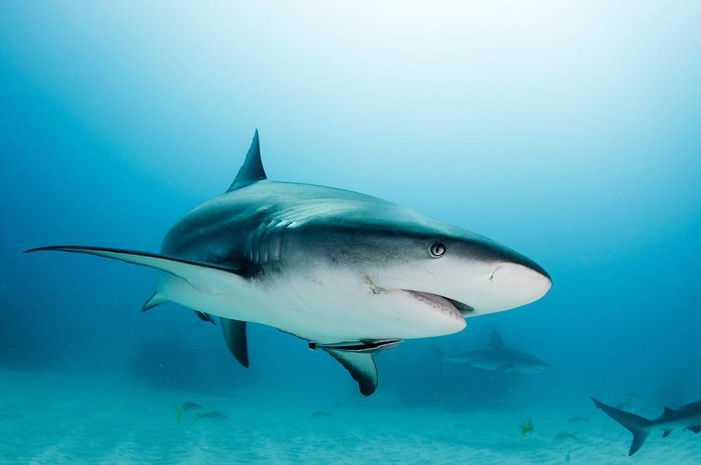 Caribbean reef shark (Carcharhinus perezi) in The Bahamas.
