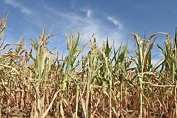 August 1, 2018 - RonquièRe   RonquièRe, Belgium - Corn in the summer 2018   Maïs l'été 2018 01/08/2018 (Credit Image: © Jean-Luc FléMal/Belga via ZUMA Press)