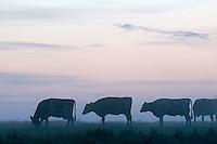 Mission: Black Storks River Elbe Germany; Biosphärenreservat Niedersächsische Elbtalaue; Biosphere Reserve Middle Elbe; cattle; Rinder