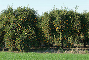 Israel, Sharon district, Citrus Grove, oranges
