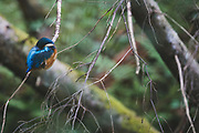 Sleeping kingfisher (Alcedo atthis) in branches of dead spruce just over small stream, Gauja National Park (Gaujas Nacionālais parks), Latvia Ⓒ Davis Ulands | davisulands.com