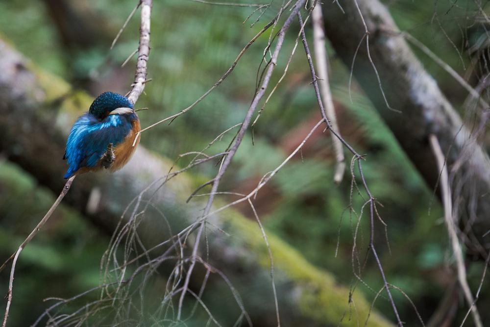 Sleeping kingfisher (Alcedo atthis) in branches of dead spruce just over small stream, Gauja National Park (Gaujas Nacionālais parks), Latvia Ⓒ Davis Ulands | davisulands.com