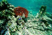 Crown of Thorns Starfish, Upolu, Samoa<br />