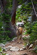 Multe deer Amphitheatre Lake Trail, at Grand Teton National Park, Wyoming