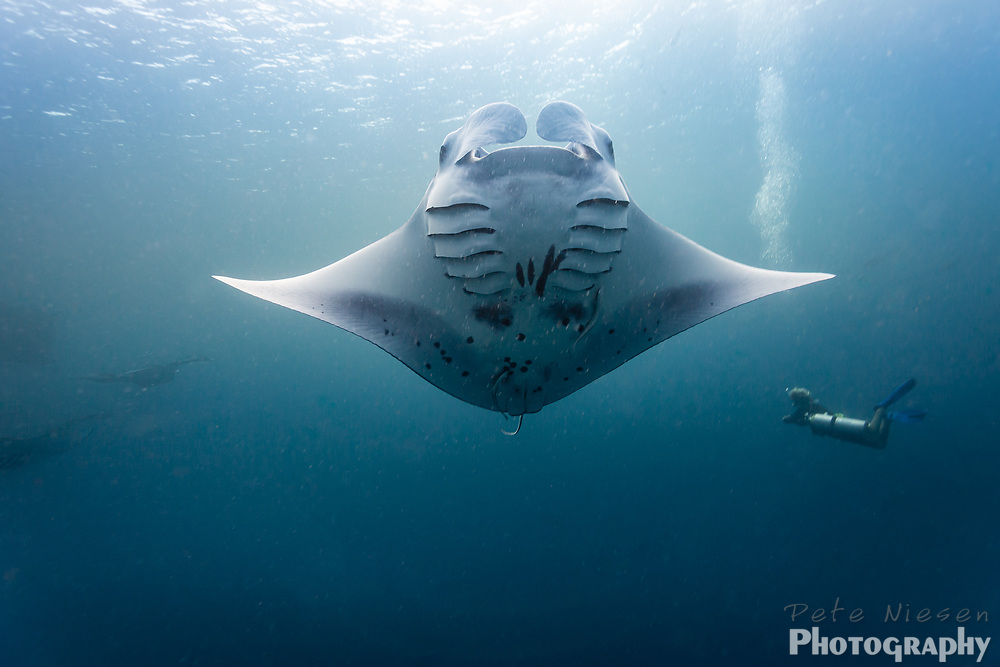 Scuba diver is dwarfed by giant manta ray, Mobula alfredi, as it spreads its wings in sunlight from the surface