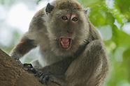 Long-tailed Macaque, Macaca fasicularis