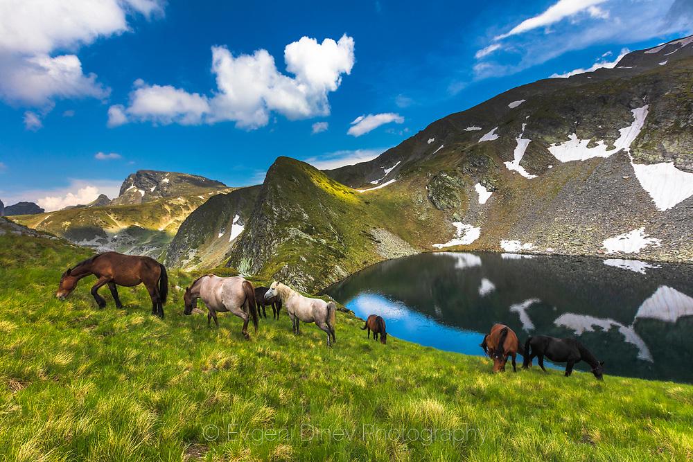 Wild horses graze a fresh grass in the mountain