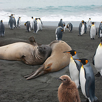 King Penguins and Southern Elephant Seals relax on a beach at Gold Harbor, South Georgia, Antarctica. Behind them is the cruise ship National Geographic Endeavor. In the foreground is a juvenile King Penguin called an Oakum Boy.