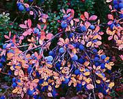 Alpine blueberry, Vaccinium uliginosum, and lowbush cranberry, Vaccinium vitis-idaea,  autumn tundra in foothills of the Talkeetna Mountains, Glacier View, Alaska.