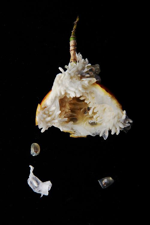 Markisa. Eaten Indonesian passion fruit on a black backdrop.