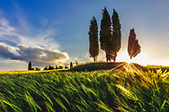 Tuscany view with cypress trees in the middle of the field of wheat