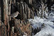 The Purple Sandpiper, Calidris, Arquatella or Erolia maritima is a small shorebird. Adults have short yellow legs and a medium thin dark bill with a yellow base. The body is dark on top with a slight purplish gloss and mainly white underneath | Fjæreplytt tilhører gruppen snipefugler. Arten trives i kystområder på den nordlige halvkule, og måler ca 22 cm. Fuglen er tettbygd og forholdsvis kortbeint. Vinter- og sommerdrakta er ikke like. Den er mørk purpurgrå vinterstid og brunspettet sommerstid over hele kroppen, bortsett fra buken, som er kvit. Føttene er grønngule. Fjæreplytten har et langt, litt bøyd nebb som er mørkebrunt, men gult ved rota.