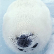Harp Seal, a favorite pos, ition of young pups is to lay on their backs.