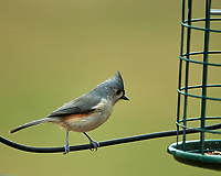 Tuffed Titmouse. Image taken with a Nikon D5 camera and 600 mm f/4 VR telephoto lens.