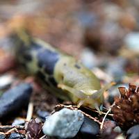 North America, Canada, British Columbia, Vancouver Island. Slugs are common along the West Coast Trail of Pacific Rim National Park.