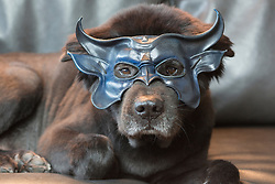 Chow dog wearing a mask