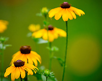 Black-eyed Susan. Image taken with a Fuji X-H1 camera and 200 mm f/2 OIS lens + 1.4x teleconverter