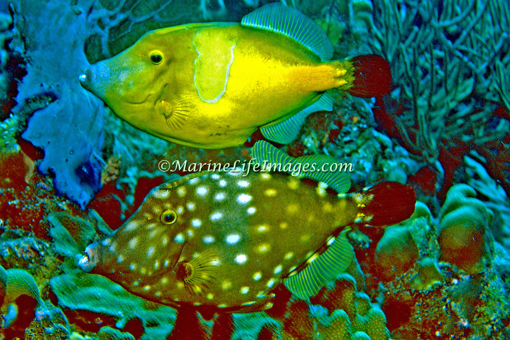 Whitespotted Filefish swim slowly over and around reefs in Tropical West Atlantic, often in pairs with one displaying white-spot pattern; picture taken Roatan, Honduras.