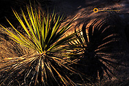 Late light on yucca creates intense shadow in the Dragoon Mountains, Arizona, USA