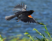 Red-winged Blackbird (Agelaius phoeniceus). Lily Lake, Rocky Mountain National Park, Colorado. Image taken with a Nikon D3 camera and 105 mm f/2.8 macro VR lens.