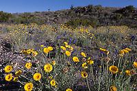 Desert Marigolds (Baileya multiradiata) and Big Bend Bluebonnets (Lupinus havardii) at Big Bend Ranch State Park,, Texas