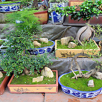 Asia, China, Chongqing. Bonsai trees for sale in street market in the city of Chongqing.