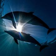 Spotted dolphins off Bimini, Bahamas.