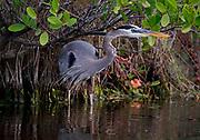 Great Blue Heron (Ardea herodias) poses in the swamp.  Florida, USA
