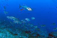 Smaller fish scatter to avoid the quick rush of a large Yellowfin Tuna<br /> <br /> <br /> Shot at Cocos Island, Costa Rica