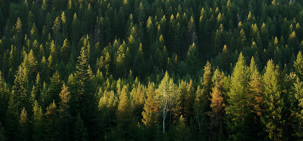 Light rakes across the forest canopy near Big Meadows Lake north of Colville.