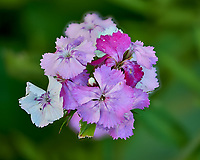 Dianthus flower cluster. Composite of 50 focus stacked Image taken with a Fuji X-H1 camera and 80 mm f/2.8 macro lens (ISO 200, 80 mm, f/2.8, 1/125 sec). Raw images processed with Capture One Pro and Helicon Focus.