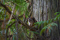 America, animal, beautiful, beauty, Chickaree,  Douglas' Squirrel, mammal, native, natural, nature, pine squirrel, rodent, Sciuridae,  squirrel, Tamiascurus douglasii, United States, USA, Washington, wild, wildlife, zoology, America, Mount Rainier, National Park, Pacific NW, USA, United States, Washington, animal, beautiful, beauty, beauty, beautiful, environment,  habitat, inland,  native, natural, nature,  spring, wild, wilderness, wildlife,  zoology,  mammal, Mammalia, vertebrate, fauna, treesquirrel, Animalia, Chordata, Mammalia, Rodentia, Sciuridae, Tamiasciurus, T. douglasii, Tamiasciurus douglasii,  tree squirrel, native, Douglas' Squirrel, Douglas's Squirrel, Pillillooeet