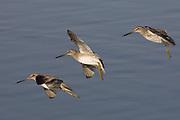 Short-billed Dowitchers landing.(Limnodromus griseus).Back Bay Reserve, California