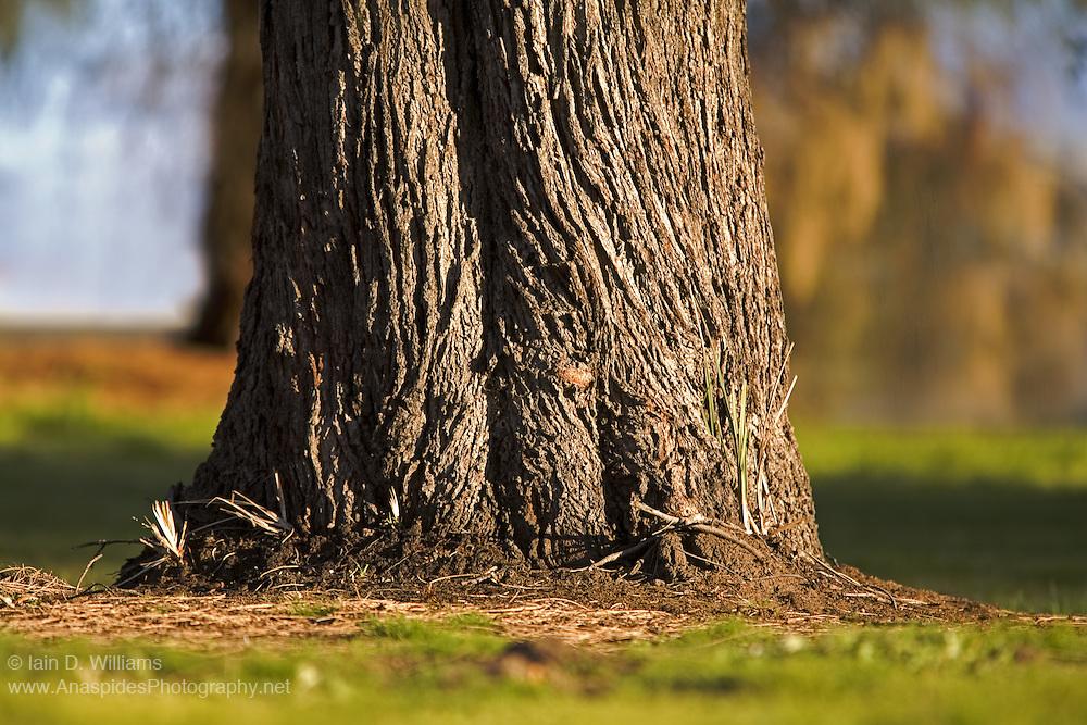 Tree Trunk, Tasmania