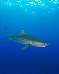 Tiger Shark, Galeocerdo cuvier, West End, Bahamas, Atlantic Ocean