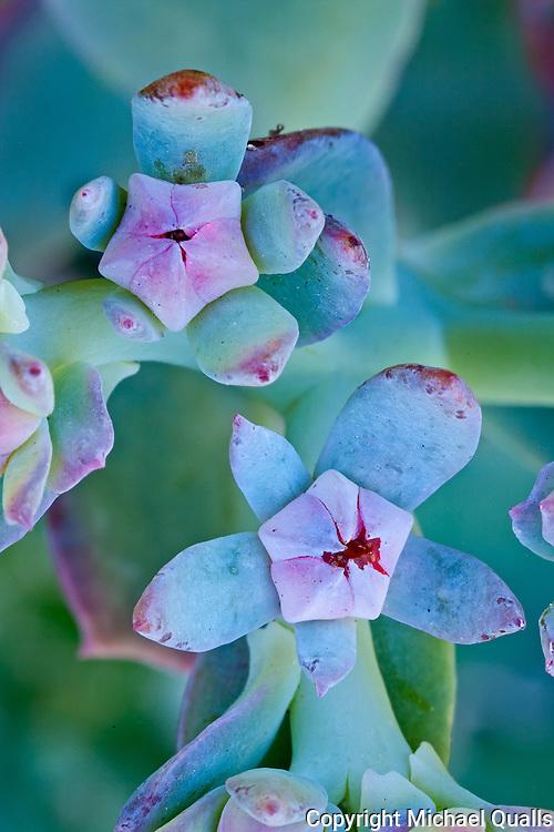 A succulent, bought at the La Mesa Farmer's Market.  Beautiful shadings!