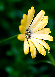 One single droplet hanging on the pedal of a beautiful flower waiting for the right moment to fall.
