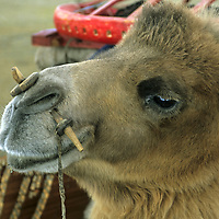 MONGOLIA, Darhad Valley.  Bactrian camel after being loaded with parts of a family's ger (yurt).  Peg through nose is for a lead rope.