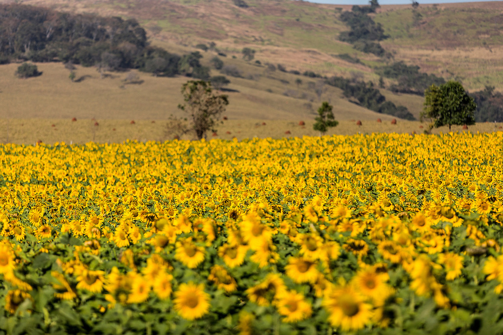 Passos_MG, Brasil.<br /> <br /> Producao de Girassol na agricultura familiar. Na foto, plantacao de girassol na fazenda Sao Francisco em Passos, Minas Gerais.<br /> <br /> Sunflower production on family farms. In the photo, sunflower plantation in Sao Francisco Passos farm, Minas Gerais.<br /> <br /> Foto: LEO DRUMOND / NITRO
